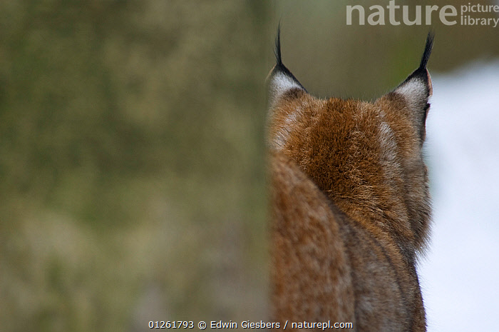 Rear view of Lynx (Lynx lynx) behind tree, captive  ,  CARNIVORES,CATS,EARS,HEADS,MAMMALS,VERTEBRATES  ,  Edwin Giesbers