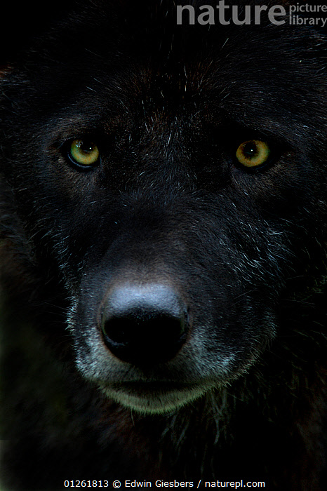 Grey wolf (Canis lupus) head, captive  ,  animal face,animal nose,BLACK,CANIDS,captive,captive animal,CARNIVORES,CATALOGUE2,close up,CLOSE UPS,EUROPE,EYES,FACES,facial expression,full frame,HEADS,MAMMALS,NOSES,one animal,serious,staring,VERTEBRATES,VERTICAL,WILDLIFE,WOLVES,yellow eyes,Dogs  ,  Edwin Giesbers