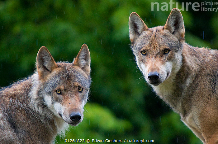 Two Grey woles (Canis lupus) captive  ,  CANIDS,CARNIVORES,CUTOUT,HEADS,MAMMALS,PORTRAITS,VERTEBRATES,WOLVES,Dogs  ,  Edwin Giesbers