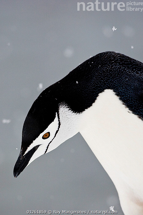 Portrait of a Chinstrap Penguin (Pygoscelis antarcticus) in snowfall on Useful Island, Antarctica. November.  ,  BIRDS,BLACK AND WHITE,FLIGHTLESS,PENGUINS,PORTRAITS,SEABIRDS,SNOW,SNOWING,VERTEBRATES,VERTICAL  ,  Roy Mangersnes