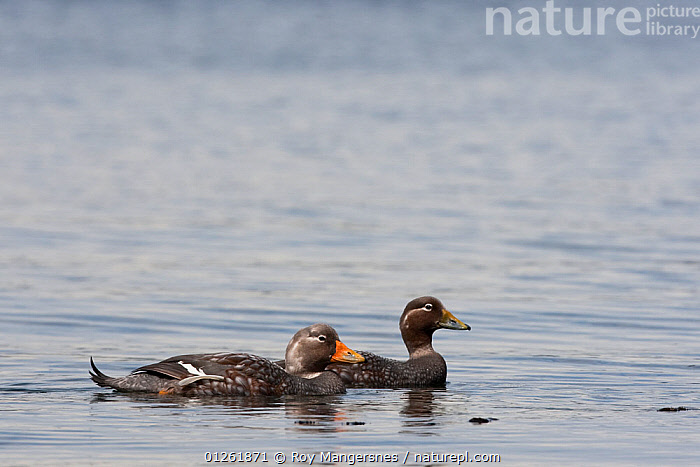 Flying Steamerduck (Tachyeres patachonicus) pair of the coast of Tierra Del Fuego, Argentina, South America. November.  ,  BIRDS,DUCKS,MALE FEMALE PAIR,SEA,SOUTH AMERICA,STEAMERDUCK,TWO,VERTEBRATES,WATER,WATERFOWL  ,  Roy Mangersnes