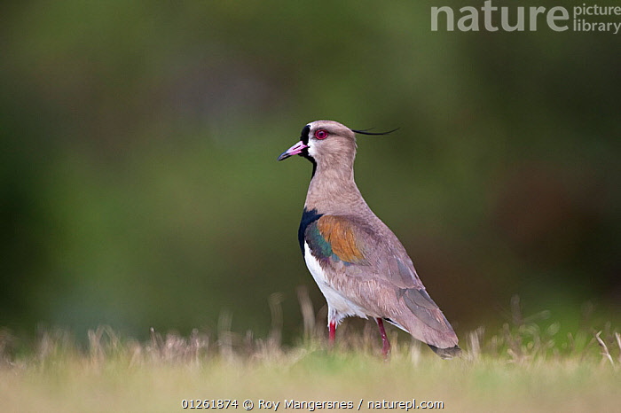 Southern Lapwing (Vanellus chilensis) Buenos Aires, Argentina, South America. November.  ,  BIRDS,PLOVERS,SOUTH AMERICA,VERTEBRATES,WADERS  ,  Roy Mangersnes