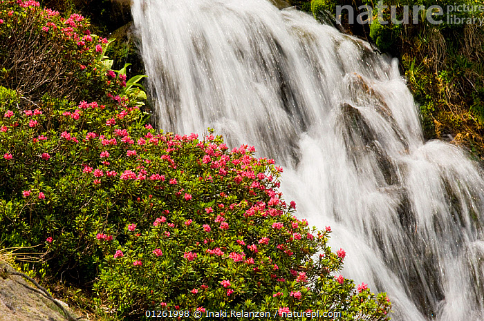 Alpine rose (Rhododendron ferrugineum) with waterfall in the background, La Cerdagna, Pyrenees, Catalonia, Spain. June 2006  ,  bush, bushes, DICOTYLEDONS, ERICACEAE, FLOWERS, PLANTS, RIVERS, SPAIN, WATER, WATERFALLS,Europe  ,  Inaki Relanzon