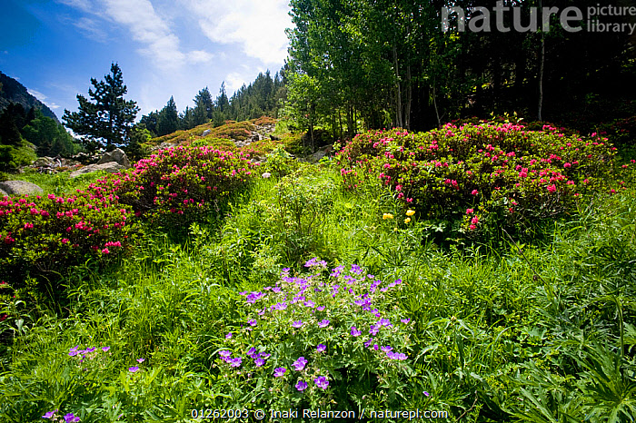 Wild flowers in Vallee d' Eyne Reserve Naturel, Haute Cerdagne, Pyrenees Orientales, Languedoc Roussillon, France. July 2008  ,  ALPINE,CONIFEROUS,EUROPE,FLOWERS,FRANCE,LANDSCAPES,RESERVE,RHODODENDRON,WOODLANDS  ,  Inaki Relanzon