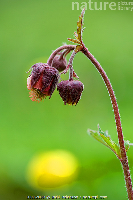 Water avens (Geum rivale). Vallee d' Eyne Reserve Naturel, Haute Cerdagne, Pyrenees Orientales, Languedoc Roussillon, France. July  ,  BUD,BUDS,CLOSE UPS,DICOTYLEDONS,EUROPE,FLOWERS,FRANCE,PLANTS,RESERVE,ROSACEAE,VERTICAL  ,  Inaki Relanzon
