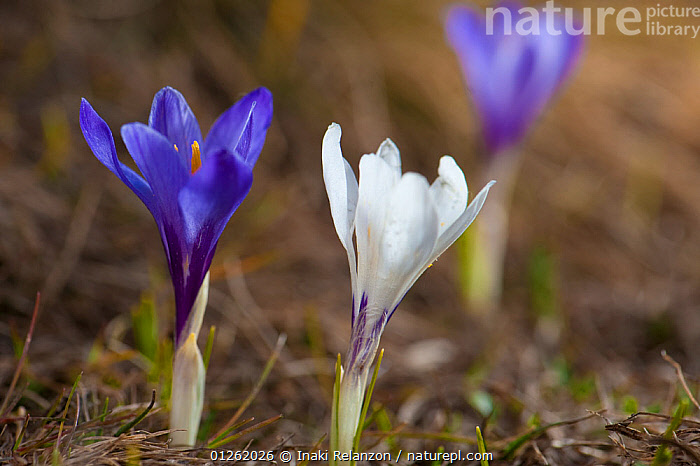 Crocus (Crocus nudiflorus) Pyrenees, Catalonia, Spain. May  ,  BLUE,EUROPE,FLOWERS,IRIDACEAE,MONOCOTYLEDONS,PLANTS,SPAIN  ,  Inaki Relanzon