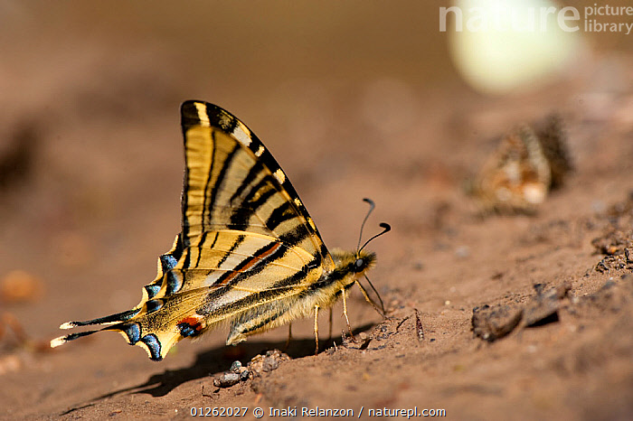 Scarce swallowtail butterfly (Iphiclides podalirius), Pyrenees, Spain. May  ,  BUTTERFLIES,EUROPE,INSECTS,INVERTEBRATES,LEPIDOPTERA,PORTRAITS,PROFILE,SPAIN,SWALLOWTAIL BUTTERFLIES  ,  Inaki Relanzon