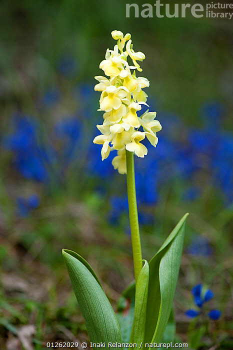 Pale flowered orchid (Orchis pallens) in The Cerdanya, Catalonia Pyrenees, Spain. May  ,  CLOSE UPS,EUROPE,FLOWERS,MONOCOTYLEDONS,ORCHIDACEAE,PLANTS,SPAIN,VERTICAL  ,  Inaki Relanzon