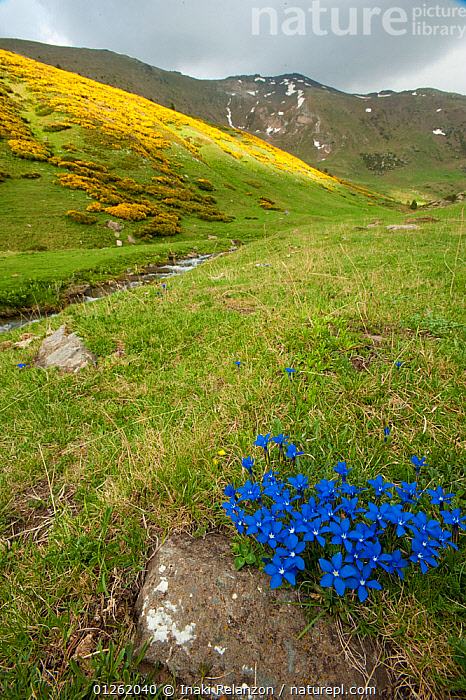 Spring gentian (Gentiana verna) with mountains in background. Vallee d' Eyne Reserve Naturel, Haute Cerdagne, Pyrenees Orientales, Languedoc Roussillon, France. June 2009  ,  DICOTYLEDONS,EUROPE,FLOWERS,FRANCE,GENTIANACEAE,LANDSCAPES,MOUNTAINS,PLANTS,RESERVE,VERTICAL  ,  Inaki Relanzon