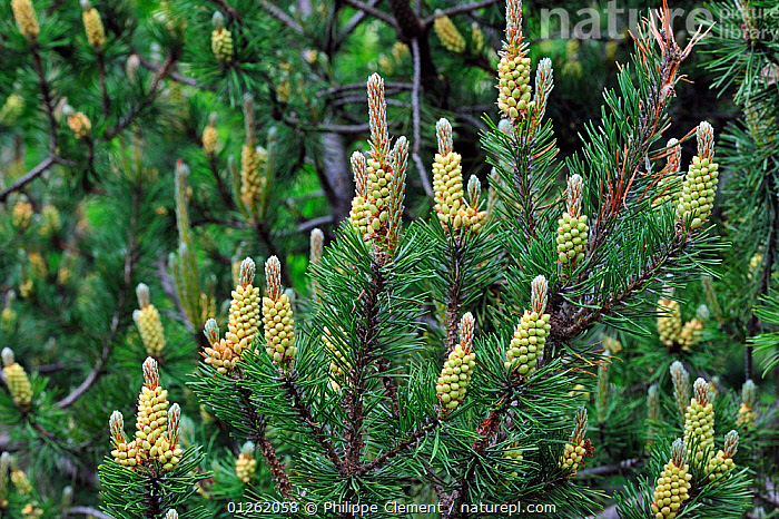Bog pine (Pinus rotundata) showing male flowers, Germany  ,  CONIFERS,EUROPE,FLOWERS,GERMANY,GYMNOSPERMS,PINACEAE,PINES,PLANTS  ,  Philippe Clement