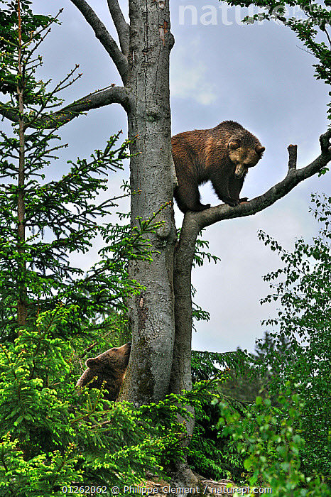 European Brown bear (Ursus arctos) female climbed tree and is looking down at male bear, Bavarian Forest NP, Germany, Captive  ,  Bavarian Forest,BEARS,BEHAVIOUR,CARNIVORES,CATALOGUE2,Caution,Cautious,CLIMBING,close up,CLOSE UPS,COMMUNICATION,female animal,FEMALES,forest,GERMANY,looking down,male animal,MALE FEMALE PAIR,MALES,MAMMALS,Nobody,NP,outdoors,RESERVE,STANDING,TREES,two animals,VERTEBRATES,VERTICAL,WILDLIFE,WOODLANDS,Europe,National Park,PLANTS  ,  Philippe Clement