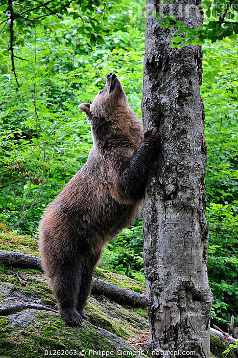 European Brown bear (Ursus arctos) sharpening claws on tree in forest, Bavarian Forest NP, Germany, Captive  ,  BEARS,BEHAVIOUR,CARNIVORES,EUROPE,GERMANY,GROOMING,MAMMALS,NP,RESERVE,STANDING,TREES,TRUNKS,VERTEBRATES,VERTICAL,WOODLANDS,National Park,PLANTS  ,  Philippe Clement