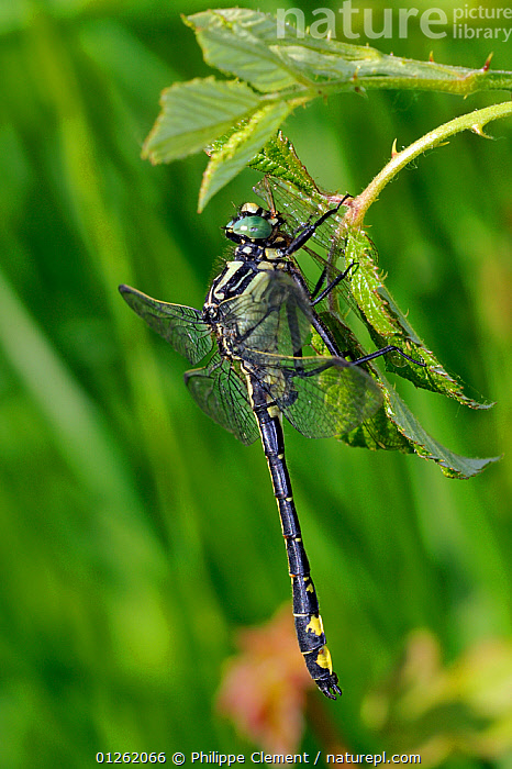Common club-tail / Club-tailed dragonfly (Gomphus vulgatissimus) feeding on dragonfly prey, La Brenne, France  ,  ARTHROPODS,CANNABALISM,DRAGONFLIES,EUROPE,FEEDING,FRANCE,INSECTS,INVERTEBRATES,ODONATA,VERTICAL ,Cannibalism,  ,  Philippe Clement
