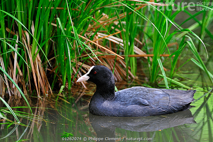 Coot (Fulica atra) on water beside bank in pond, Germany  ,  BIRDS,COOTS,EUROPE,GERMANY,LAKES,PONDS,VERTEBRATES,WATERFOWL  ,  Philippe Clement