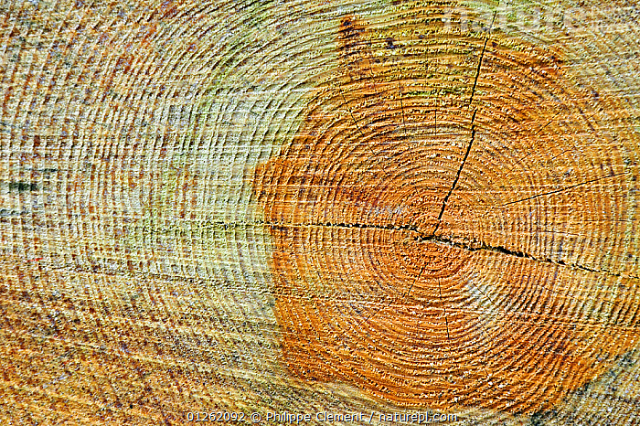 Cross section of tree trunk showing annual growth rings, Belgium  ,  AGE,ARTY SHOTS,BELGIUM,EUROPE,TREES,TRUNKS,PLANTS  ,  Philippe Clement