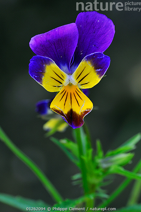 Heartsease / Wild pansy (Viola tricolor) flower, Belgium  ,  BELGIUM,COLOURFUL,DICOTYLEDONS,EUROPE,FLOWERS,PLANTS,PURPLE,VERTICAL,VIOLACEAE,YELLOW  ,  Philippe Clement