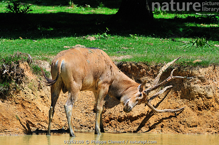 Pere David's deer / Milu (Elaphurus davidianus) stag standing in river and rubbing the velvet from its antlers, native to China, Captive  ,  ANTLERS,ARTIODACTYLA,ASIA,BEHAVIOUR,CERVIDS,CHINA,DEER,EUROPE,MALES,MAMMALS,PARKLAND,VERTEBRATES,WATER  ,  Philippe Clement