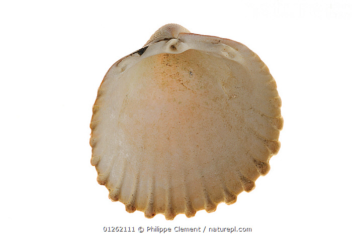 Prickly cockle (Acanthocardia echinata) shell, Brittany, France  ,  BIVALVES,COCKLES,CUTOUT,EUROPE,FRANCE,INVERTEBRATES,MARINE,MOLLUSCS,SEASHELLS,SHELLS,TEMPERATE,Bivalve  ,  Philippe Clement