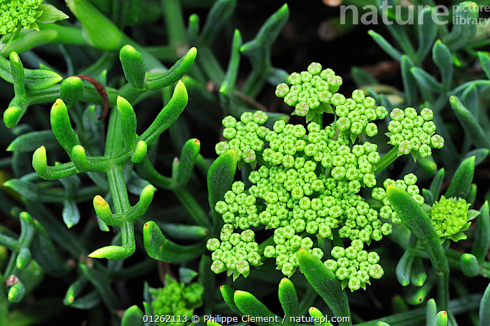 Rock samphire (Crithmum maritimum) growing on sea cliff, Brittany, France  ,  APIACEAE,COSATS,DICOTYLEDONS,EUROPE,FLOWERS,FRANCE,PLANTS,UMBELLIFERAE  ,  Philippe Clement