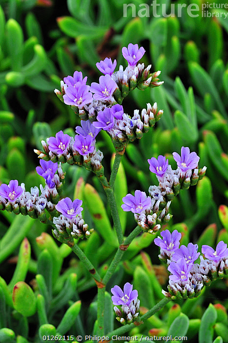 Rock sea lavender / Dwarf sea-lavender (Limonium binervosum), Brittany, France  ,  COASTS,DICOTYLEDONS,FLOWERS,PLANTS,PLUMBAGINACEAE,PURPLE,VERTICAL,Europe  ,  Philippe Clement
