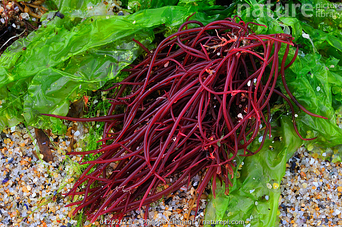 Sea noodles (Nemalion helminthoides) and Sea lettuce (Ulva lactuca) exposed on beach at low tide, Brittany, France  ,  ALGAE,COASTS,EUROPE,FRANCE,LITTORAL,MARINE,MIXED SPECIES,PLANTS,SEAWEED,SEAWEEDS,TEMPERATE,Intertidal  ,  Philippe Clement