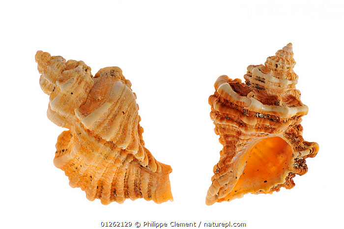 Sting winkle / Oyster drill / Hedgehog Murex (Ocenebra erinacea) shells, Brittany, France  ,  CUTOUT, EUROPE, FRANCE, GASTROPODS, INVERTEBRATES, MARINE, MOLLUSCS, SEASHELLS, SNAILS, TEMPERATE, two,Bivalve  ,  Philippe Clement