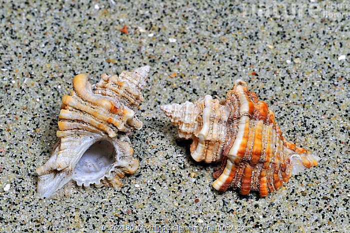 Sting winkle / Oyster drill / Hedgehog Murex (Ocenebra erinacea) on beach, Brittany, France  ,  BEACHES, COASTS, EUROPE, FRANCE, GASTROPODS, INVERTEBRATES, MARINE, MOLLUSCS, sand, SEASHELLS, SNAILS, TEMPERATE, two,Bivalve  ,  Philippe Clement