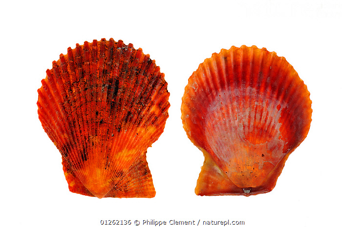 Variegated scallop (Chlamys / Mimachlamys varia) shells of the red variety, Brittany, France  ,  BIVALVES, CUTOUT, EUROPE, FRANCE, INVERTEBRATES, MARINE, MOLLUSCS, ORANGE, RED, SCALLOPS, SEASHELLS, TEMPERATE, two  ,  Philippe Clement