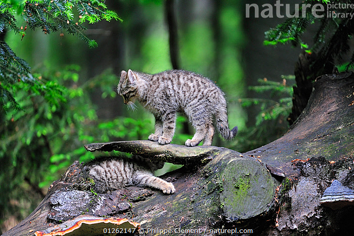 Wild cat (Felis silvestris) two kittens playing on tree trunk in forest, Germany. Captive  ,  BABIES,BEHAVIOUR,CARNIVORES,CATS,EUROPE,GERMANY,KITTEN,MAMMALS,PLAY,RESERVE,VERTEBRATES,WILDCAT,WOODLANDS,Communication  ,  Philippe Clement