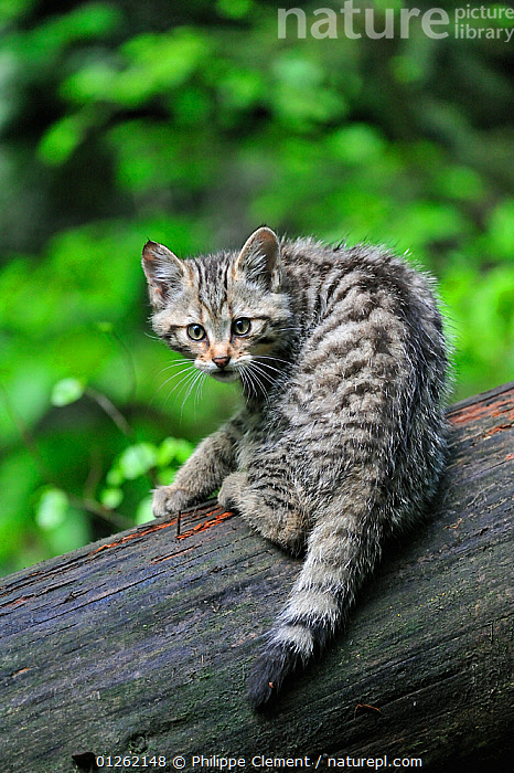 Wild cat (Felis silvestris) kitten on tree trunk in forest, Germany, Captive  ,  BABIES,CARNIVORES,CATS,CUTE,EUROPE,GERMANY,KITTENS,MAMMALS,RESERVE,VERTEBRATES,VERTICAL,WILDCAT,WOODLANDS  ,  Philippe Clement