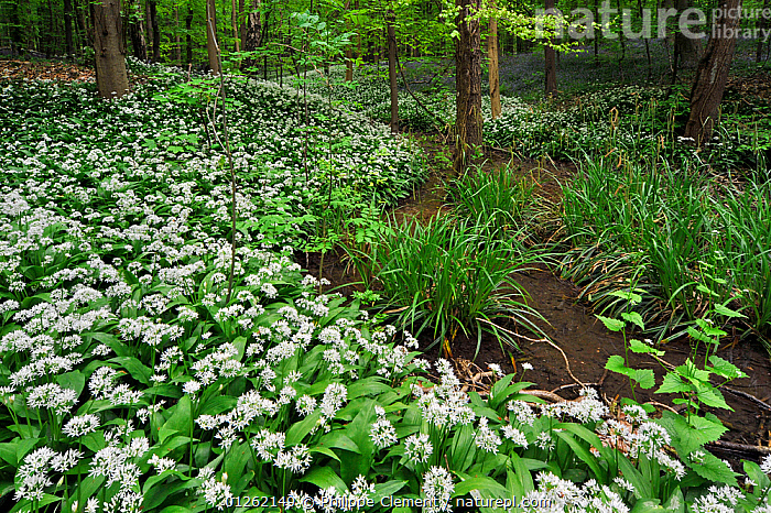 Wild garlic / Ramsons (Allium ursinum) along brook in spring woodland, Hallerbos, Belgium  ,  BELGIUM,EUROPE,FLOWERS,LANDSCAPES,LILIACEAE,MONOCOTYLEDONS,PLANTS,SPRING,TREES,WHITE,WOODLANDS  ,  Philippe Clement