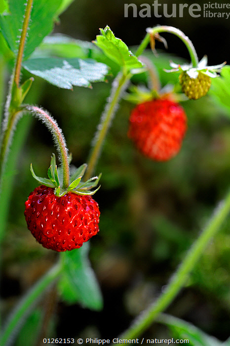 Woodland strawberry / Wild strawberries (Fragaria vesca) La Brenne, France  ,  DICOTYLEDONS,EDIBLE,EUROPE,FRANCE,FRUIT,PLANTS,RED,ROSACEAE,TWO,VERTICAL  ,  Philippe Clement