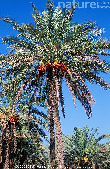 Date palm {Phoenix dactylifera} with ripe dates, Muscat, Oman  ,  ARABIA,ARECACEAE,CROPS,FRUIT,MIDDLE EAST,MONOCOTYLEDONS,PALMS,PALM TREES,PLANTS,VERTICAL  ,  Hanne & Jens Eriksen