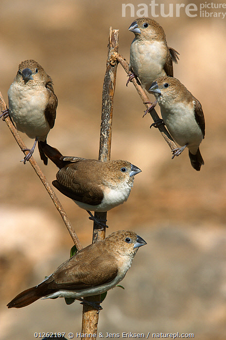 African silverbill {Lonchura cantans} five perched, Oman  ,  ARABIA,BIRDS,BROWN,FINCHES,FLOCKS,GROUPS,MIDDLE EAST,VERTEBRATES,VERTICAL  ,  Hanne & Jens Eriksen