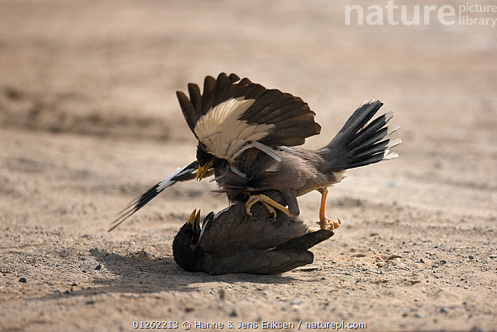 Common / Indian mynah {Acridotheres tristis}, power struggle, two males fighting, UAE  ,  ARABIA,BEHAVIOUR,BIRDS,DOMINANCE,FIGHTING,MALES,MIDDLE EAST,MYNAHS,STARLINGS,VERTEBRATES,Aggression  ,  Hanne & Jens Eriksen