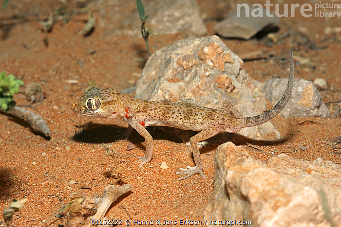 Eastern sand gecko {Stenodactylus leptocosymbotus} in desert with tail raised, UAE  ,  ARABIA, DESERTS, GECKOS, LIZARDS, MIDDLE-EAST, REPTILES, VERTEBRATES,,Lizard,  ,  Hanne & Jens Eriksen