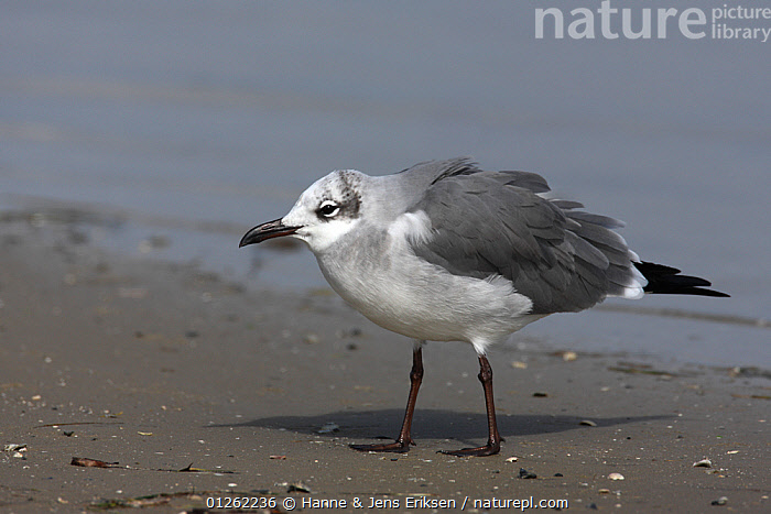 Laughing gull {Leucophaeus atricilla} winter plumage, on beach, Texas, USA  ,  BIRDS, COASTS, GULLS, SEABIRDS, USA, VERTEBRATES,North America  ,  Hanne & Jens Eriksen