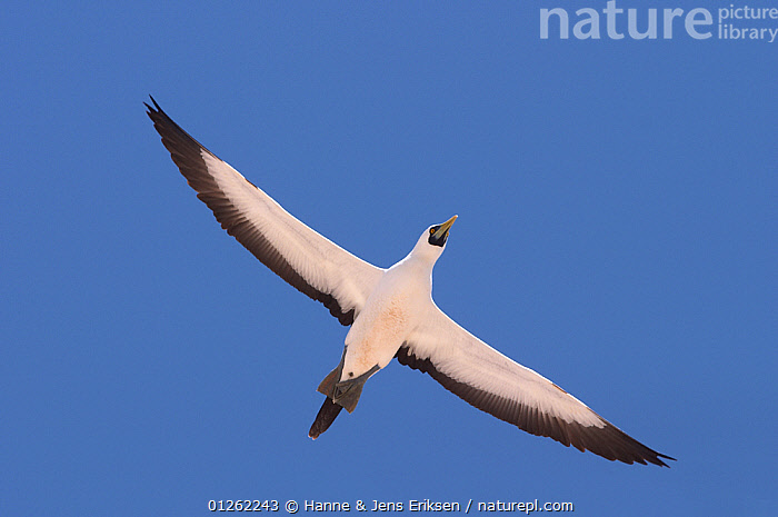Masked booby {Sula dactylatra} adult in flight, Oman  ,  ARABIA,BIRDS,BLACK AND WHITE,BLUE FACED BOOBY,BOOBIES,CUTOUT,FLYING,LOW ANGLE SHOT,MIDDLE EAST,SEABIRDS,VERTEBRATES,WINGS  ,  Hanne & Jens Eriksen