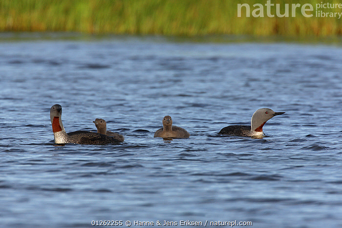 Red throated diver {Gavia stellata} family on water, Iceland  ,  BIRDS,CHICKS,DIVERS,EUROPE,FAMILES,ICELAND,LOONS,MALE FEMALE PAIR,VERTEBRATES,WATERFOWL  ,  Hanne & Jens Eriksen