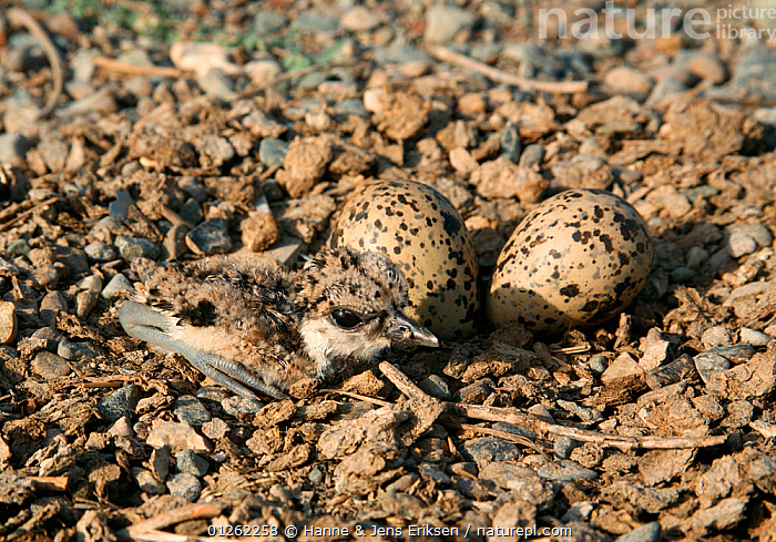 Red wattled lapwing {Vanellus indicus}, chick and eggs in scrape, Oman  ,  ARABIA,BIRDS,CAMOUFLAGE,CHICKS,EGGS,MIDDLE EAST,NESTS,PLOVERS,VERTEBRATES,WADERS  ,  Hanne & Jens Eriksen