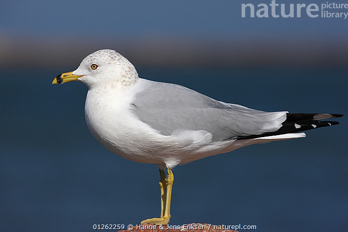 Ring billed gull {Larus delawarensis} portrait, Texas, USA  ,  BIRDS,GULLS,PORTRAITS,PROFILE,SEABIRDS,USA,VERTEBRATES,North America  ,  Hanne & Jens Eriksen