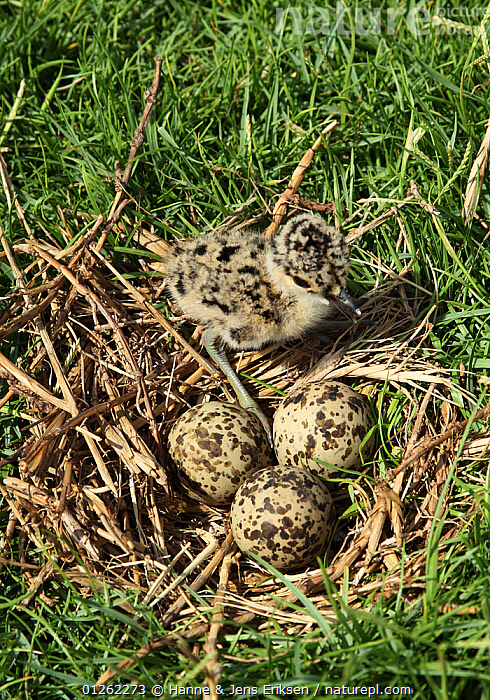 White tailed plover {Vanellus leucurus} ground nest with chick and eggs, UAE  ,  ARABIA,BIRDS,CAMOUFLAGE,CHICKS,EGGS,MIDDLE EAST,NESTS,PLOVERS,VERTEBRATES,VERTICAL,WADERS  ,  Hanne & Jens Eriksen