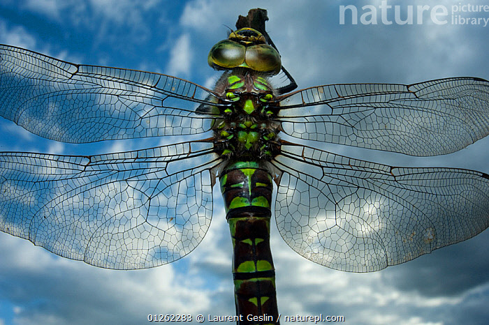 Female Emperor dragonfly (Anax imperator) close-up, on twig above water with clouds reflected, Europe  ,  ARTHROPODS,CLOUDS,DRAGONFLIES,EUROPE,FEMALES,INSECTS,INVERTEBRATES,ODONATA,REFLECTIONS,SKY,WATER,WINGS,Weather  ,  Laurent Geslin