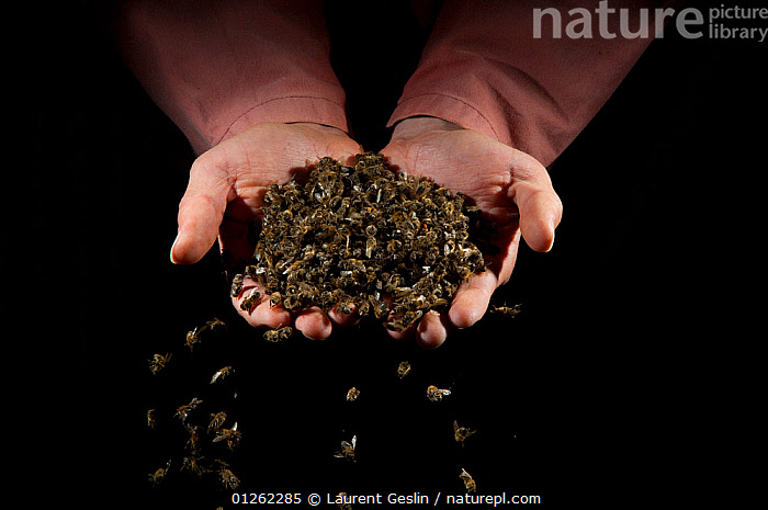 Person holding dead Honey bees (Apis mellifera) from a hive affected by colony collapse disorder, Europe  ,  ARTHROPODS,BEE KEEPING,BEES,DEATH,EUROPE,GROUPS,HANDS,HYMENOPTERA,INSECTS,INVERTEBRATES,MASS ,honeybee,honeybees  ,  Laurent Geslin
