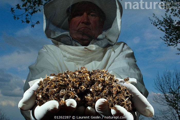 Bee keeper holding dead Honey bees (Apis mellifera) from a hive affected by colony collapse disorder, Europe  ,  ARTHROPODS,BEE KEEPING,BEES,DEATH,EUROPE,GROUPS,HYMENOPTERA,INSECTS,INVERTEBRATES,LOW ANGLE SHOT,MASS,PEOPLE ,honeybee,honeybees  ,  Laurent Geslin