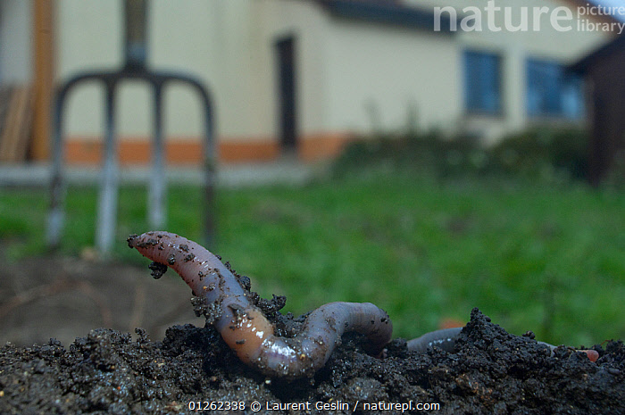 Common earthworm (Lumbricus terrestris) on dig earth  a garden, England  ,  ANNELIDS,BUILDINGS,CATALOGUE2F,close up,CLOSE UPS,digging,Discovery,Earth,EARTHWORMS,ENGLAND,EUROPE,exploration,fork,garden,garden fork,gardening equipment,GARDENS,INVERTEBRATES,nature,Nobody,OLIGOCHAETES,one animal,outdoors,SOIL,UK,WORMS,United Kingdom  ,  Laurent Geslin