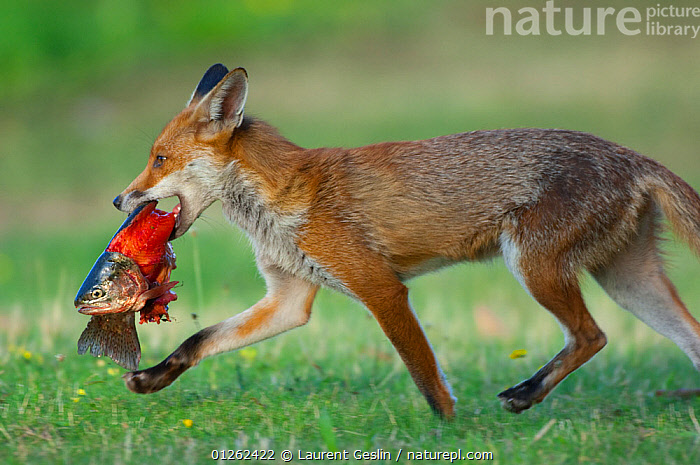 Red fox (Vulpes vulpes) carrying Brown trout (Salmo trutta) found near a fishing pond, England  ,  CANIDS,CARNIVORES,EUROPE,FEEDING,FISH,FOXES,MAMMALS,OSTEICHTHYES,RIVER TROUT,SCAVENGING,TROUT,UK,VERTEBRATES,WALKING, United Kingdom,Dogs, United Kingdom  ,  Laurent Geslin