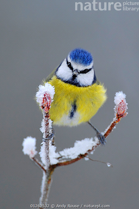 Blue Tit (Parus caeruleus) perched in snow, Wales, UK, January  ,  animal behaviour,animal marking,BEHAVIOUR,BIRDS,BLUE,buds,CATALOGUE2,close up,CLOSE UPS,curiosity,FROST,full length,GARDENS,HUMOROUS,ICE,LEGS,looking at camera,one animal,outdoors,Perching,PORTRAITS,SNOW,STANDING,TITS,UK,VERTEBRATES,VERTICAL,WALES,WILDLIFE,WINTER,YELLOW,Weather,Concepts,Europe,United Kingdom  ,  Andy Rouse