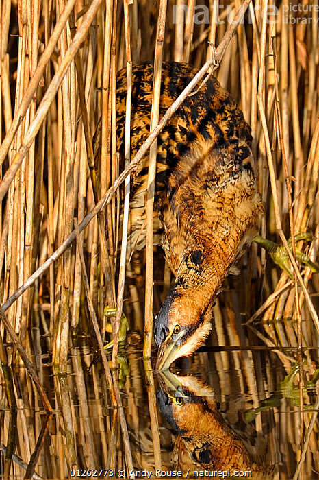 Bittern (Botarus stellaris) looking out from reeds, drinking, Wales, UK  ,  BEHAVIOUR,BIRDS,BITTERN,BITTERNS,CAMOUFLAGE,EUROPE,REEDS,UK,VERTEBRATES,VERTICAL,WALES,WETLANDS, United Kingdom  ,  Andy Rouse