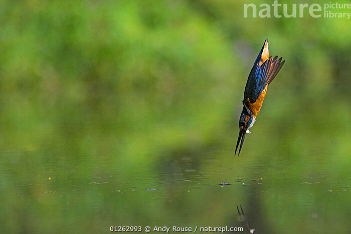 Common kingfisher (Alcedo atthis) diving into water hunting for fish, UK, ACTION,BEHAVIOUR,BIRDS,EUROPE,FISHING,HUNTING,KINGFISHERS,PREDATION,UK,VERTEBRATES,WATER, United Kingdom, Andy Rouse